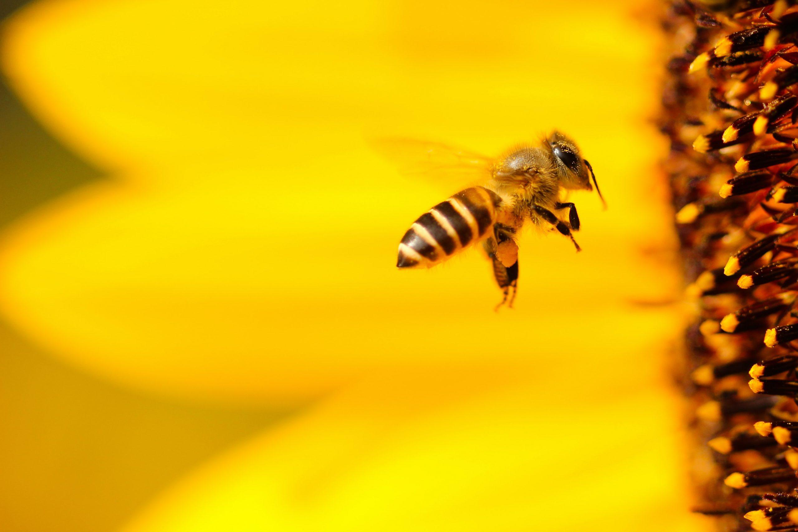 A honeybee approaches the center of a yellow flower