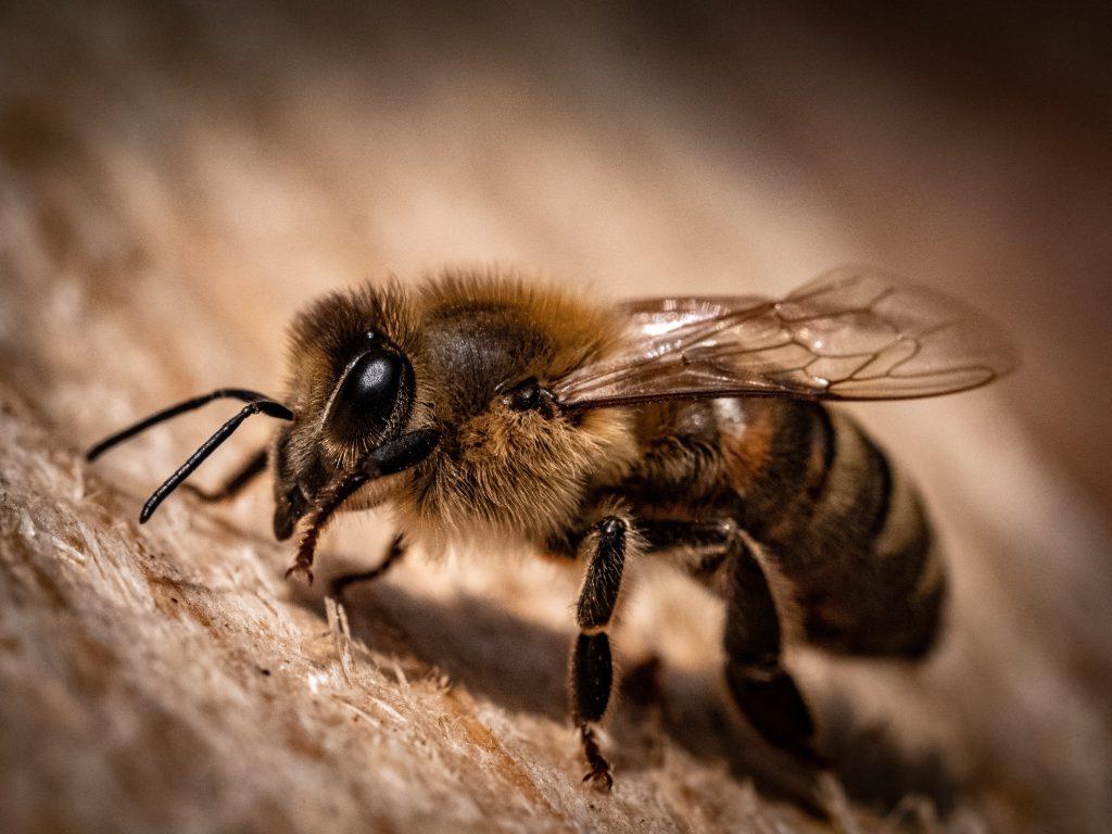Close up image of honeybee