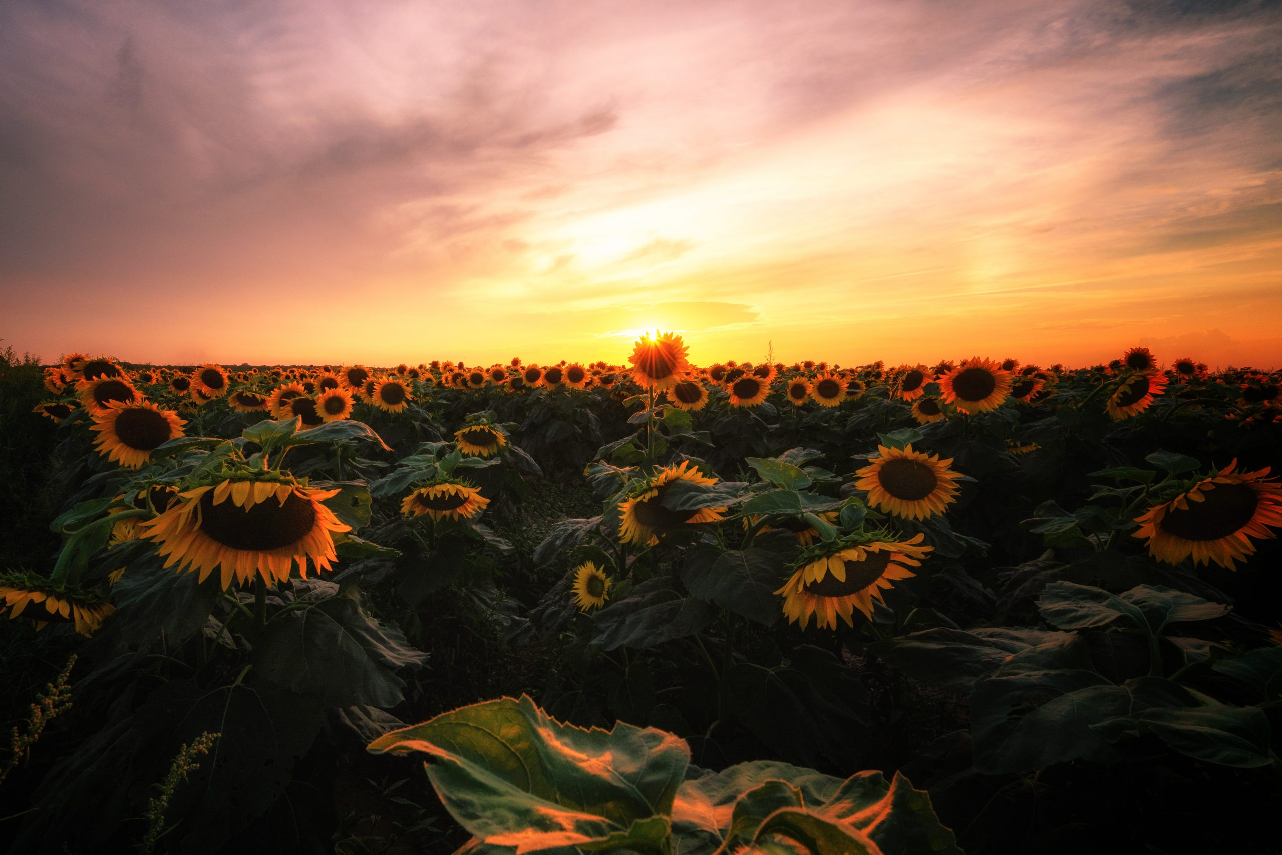 A field of sunflowers with a cloudy sunset